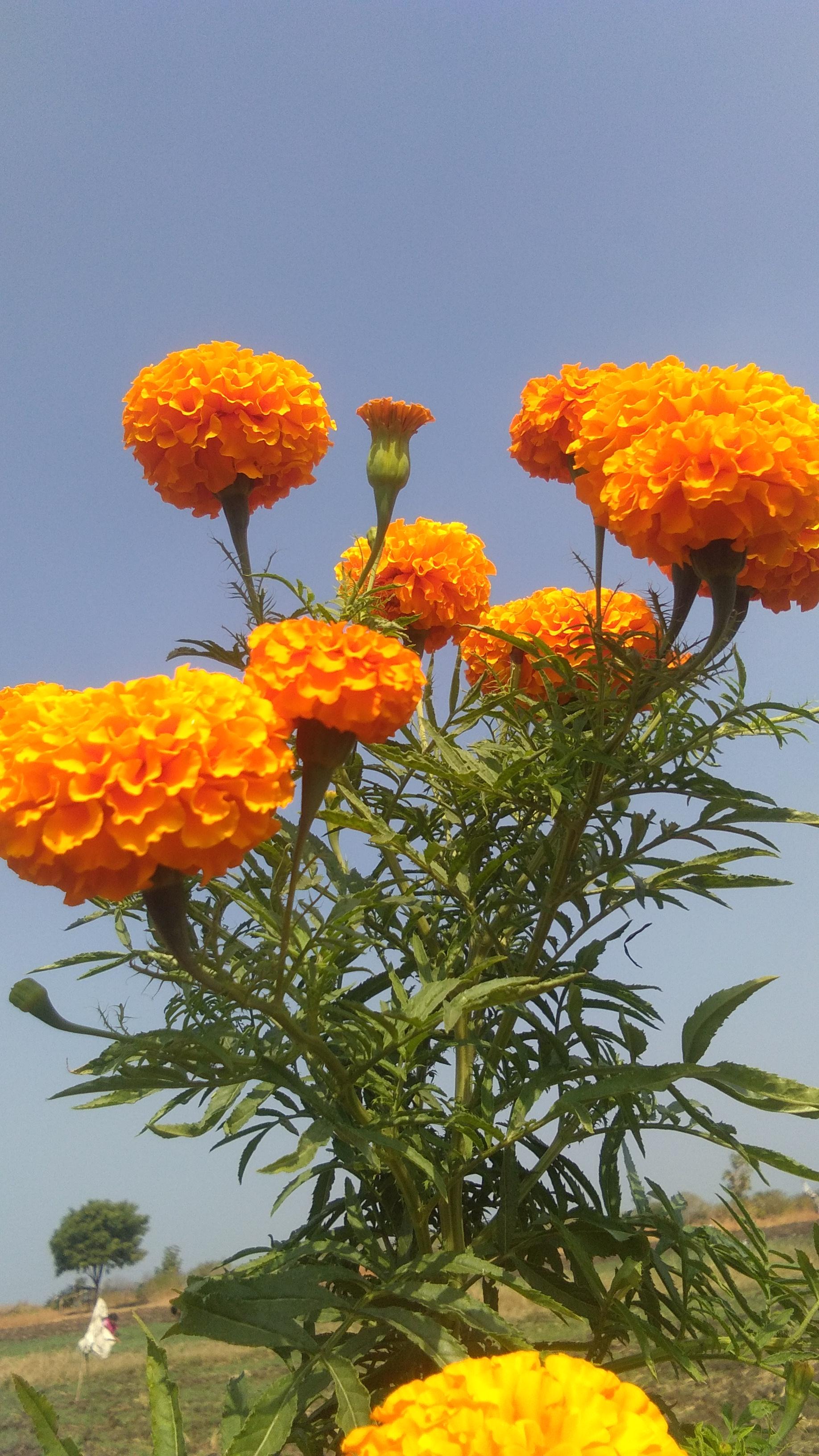 फ़ूल : कविता ( दिनेश कुमार )